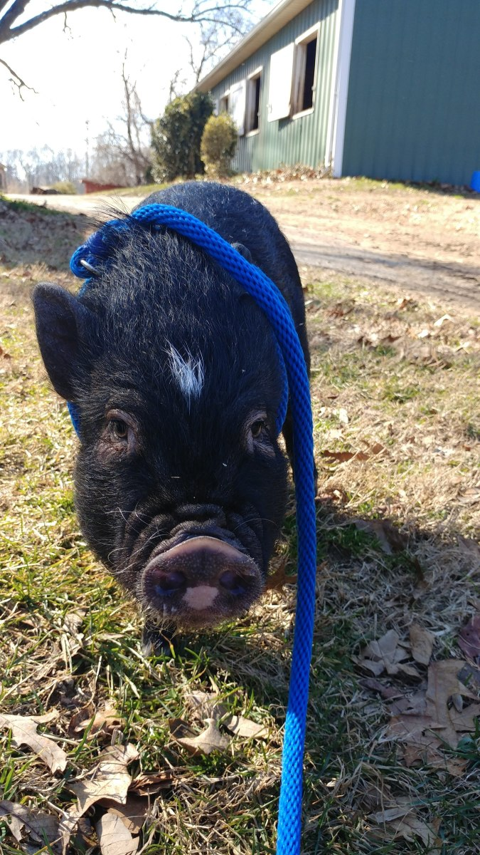 Hamlet learned to love his harness so he could go out and explore the farm and get dirty!