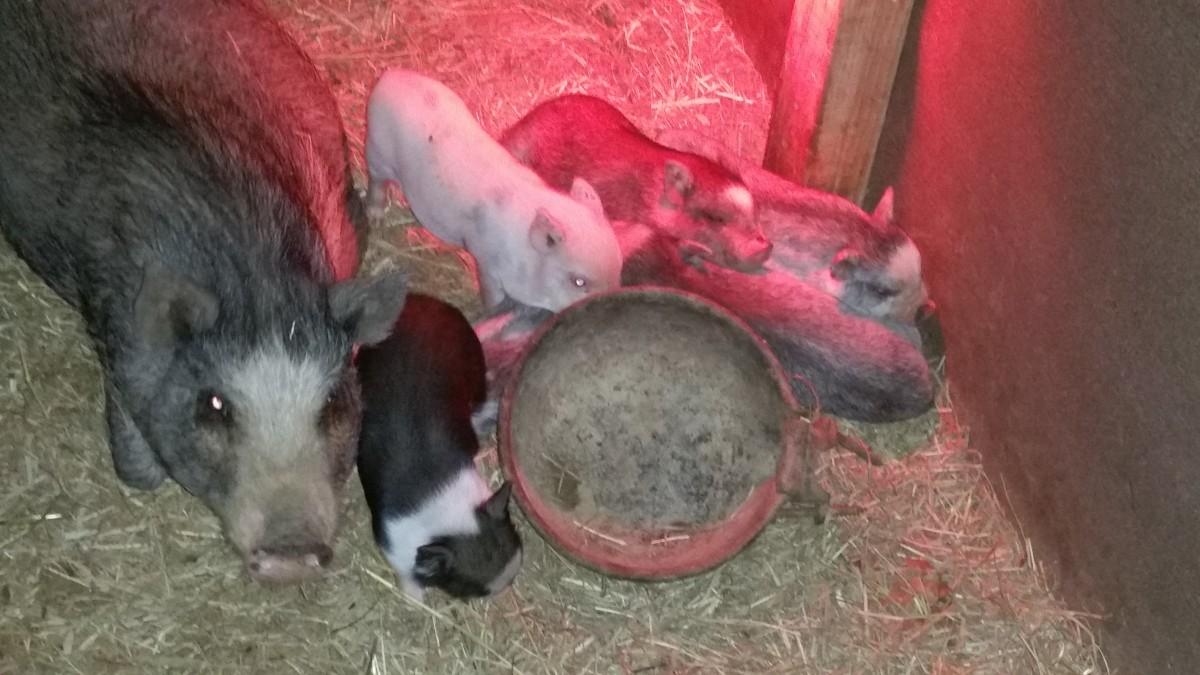 Piglets are the cutest aren't they?