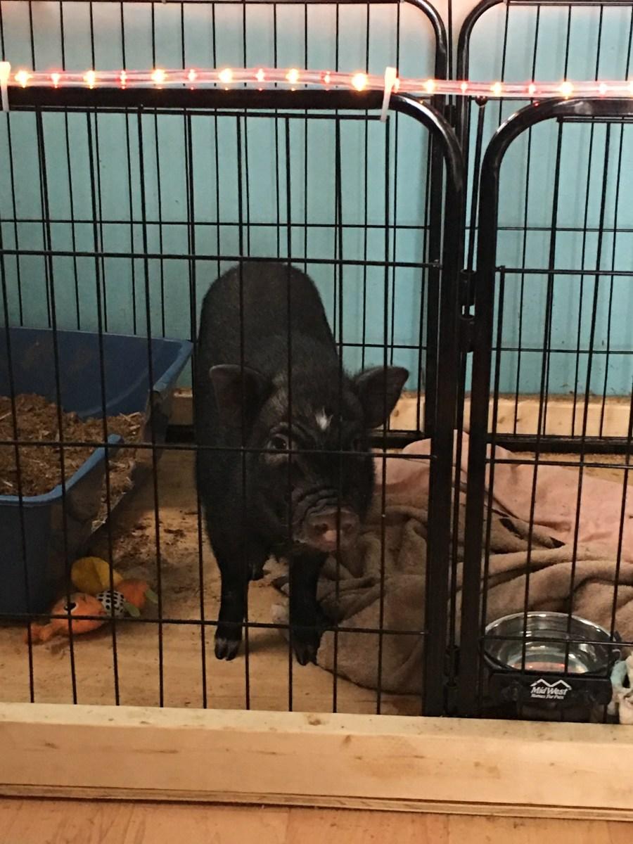 """Hamlet in our indoor """"pig pen"""""""