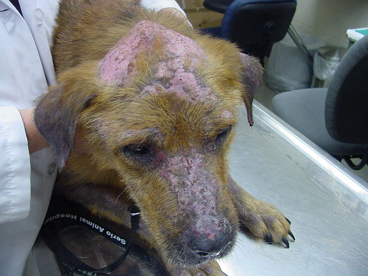 Pemphigus is one cause of a crusty face and nose on a dog.