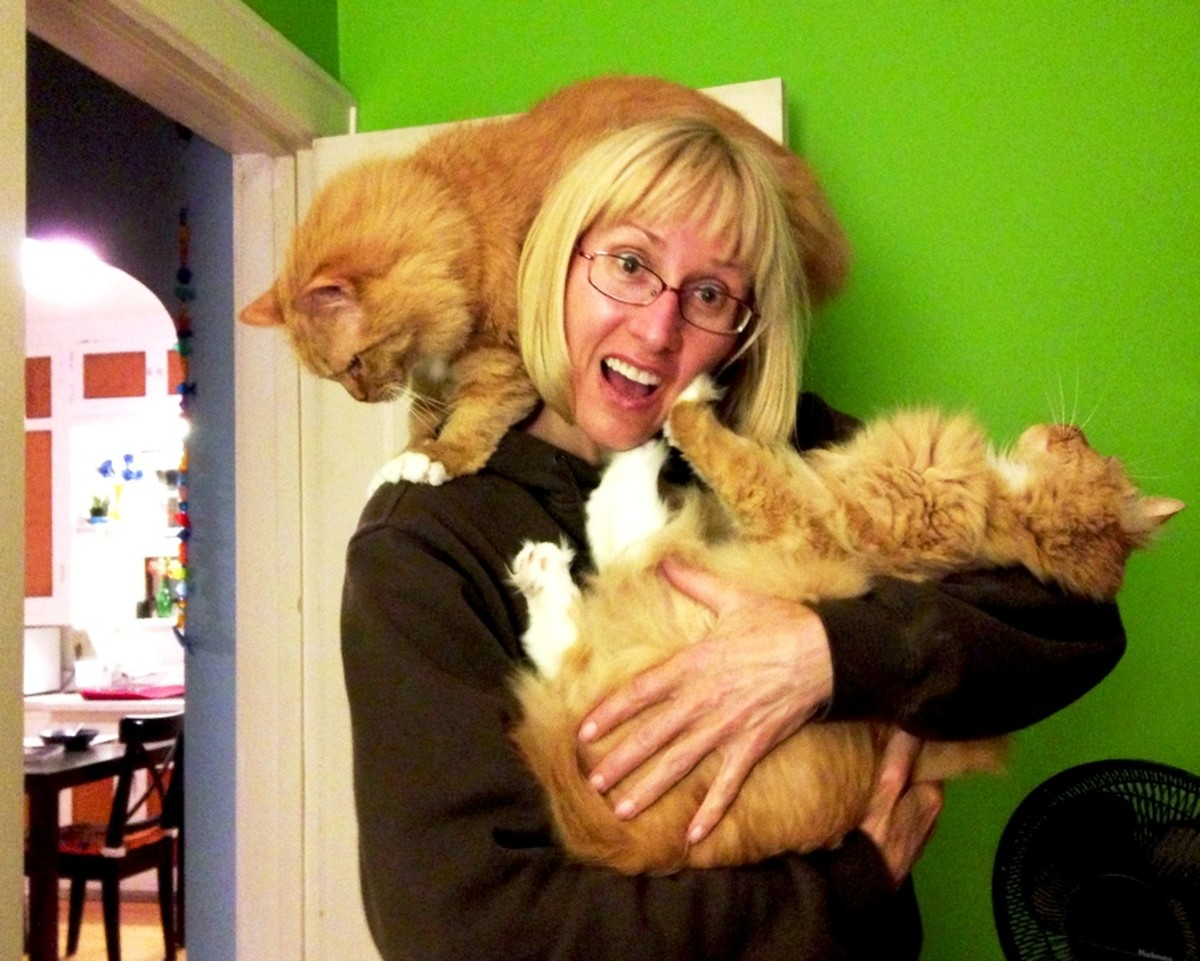 These orange tabby cats are large and in charge -- exactly the way their cat lady likes them.