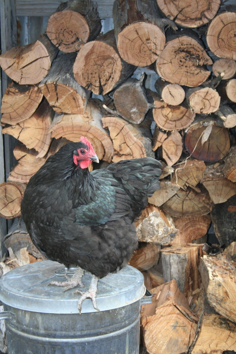 How to House Chickens in your Backyard