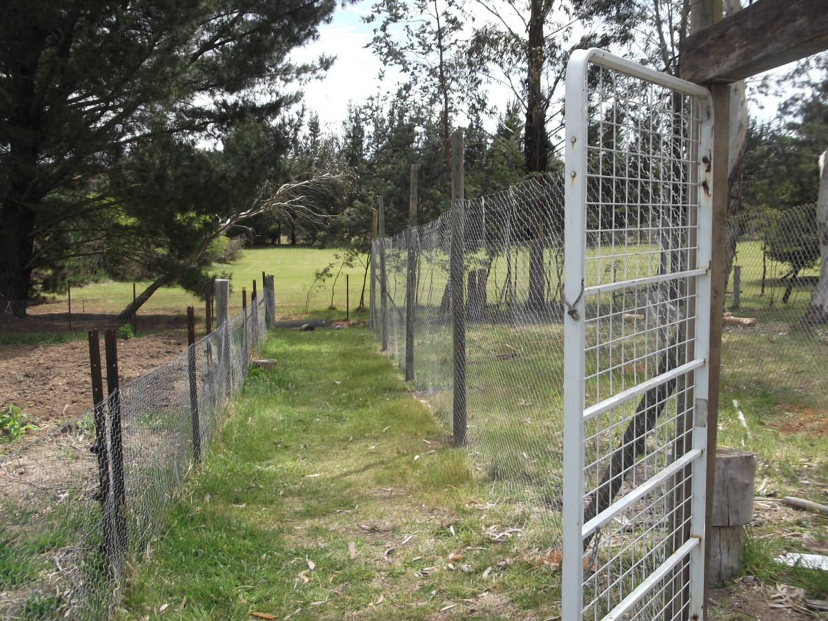 To the left is the fence of a vegetable garden freshly weeded by pig-power, waiting for spring planting. To the right is the new chicken run. The door to the chicken run is an old bed base from a camp bed.