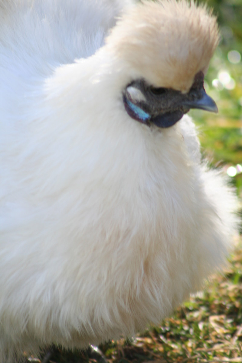 Silkies have beautiful feathers and soft, lovely temperaments. These backyard chickens make good family pets.