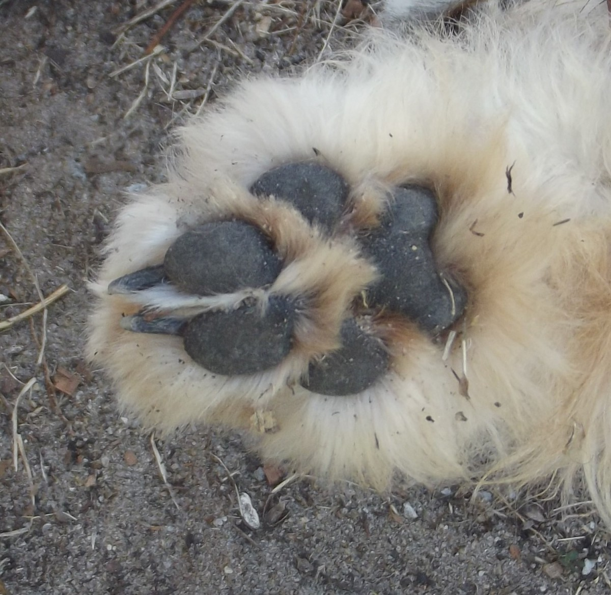 If your dog has long hair and you are not able to examine the paw for swelling, check to see if the toes are parallel.