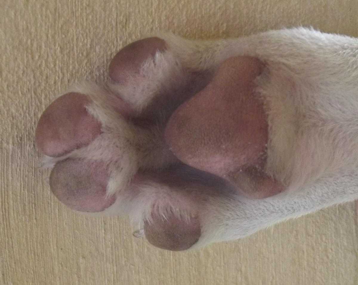 Some feet are naturally wide without being swollen. Look at your dog every day so that you are aware what is normal.
