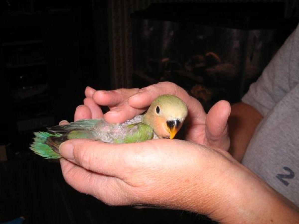 Put your baby bird to sleep gently.