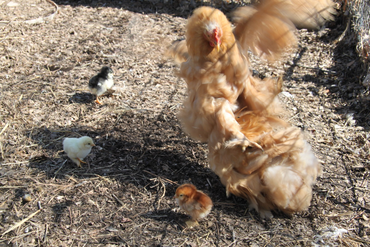 A broody hen will flog any creature she feels is threatening her chicks, even if it turns out to be just another hen.
