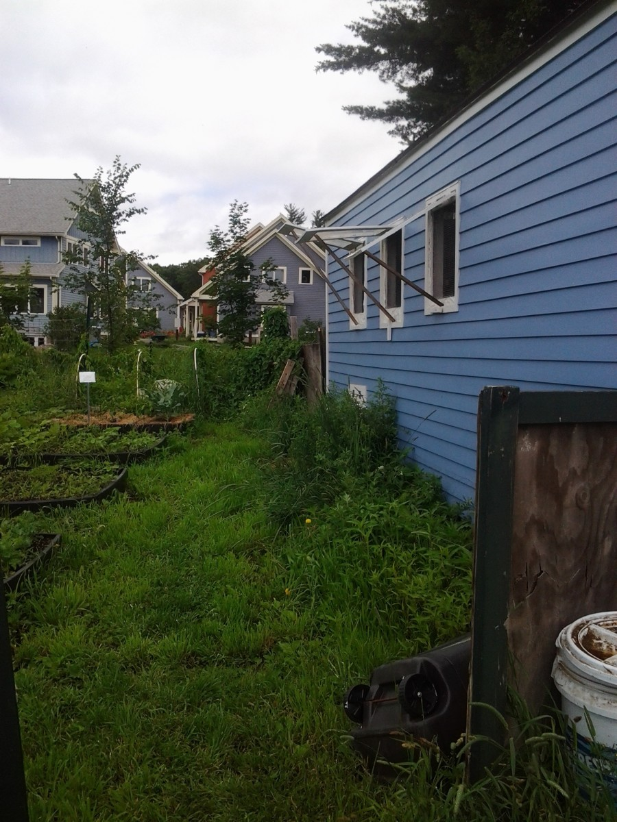 The other side of the coop, where our community gardens are planted.  We give them free range time to pick the insect pests out.