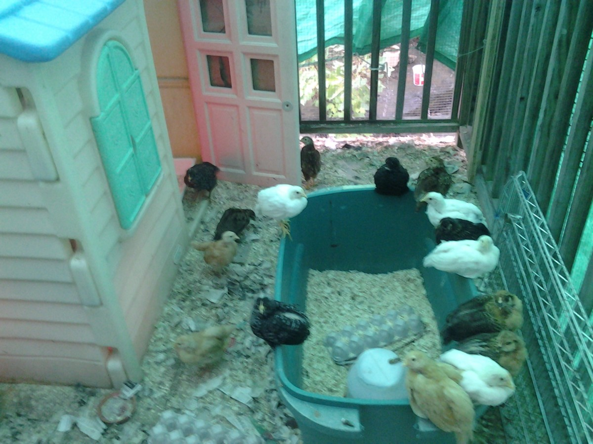 Our neighbor's chick nursery for the next generation of egg layers