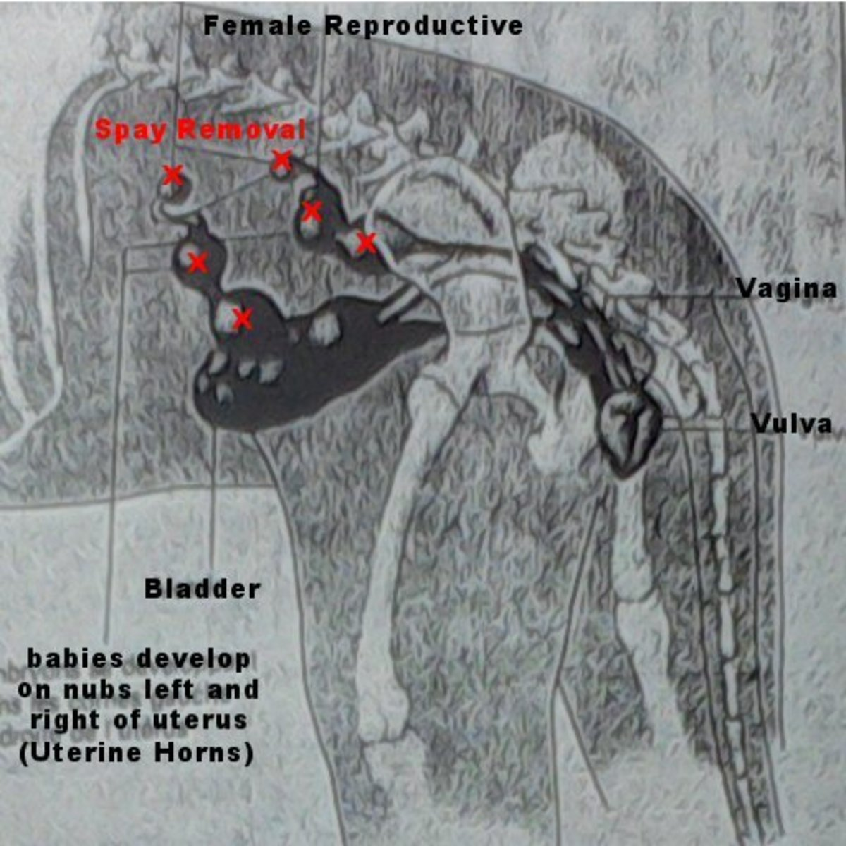 Spaying a cat or dog removes the whole uterine chain