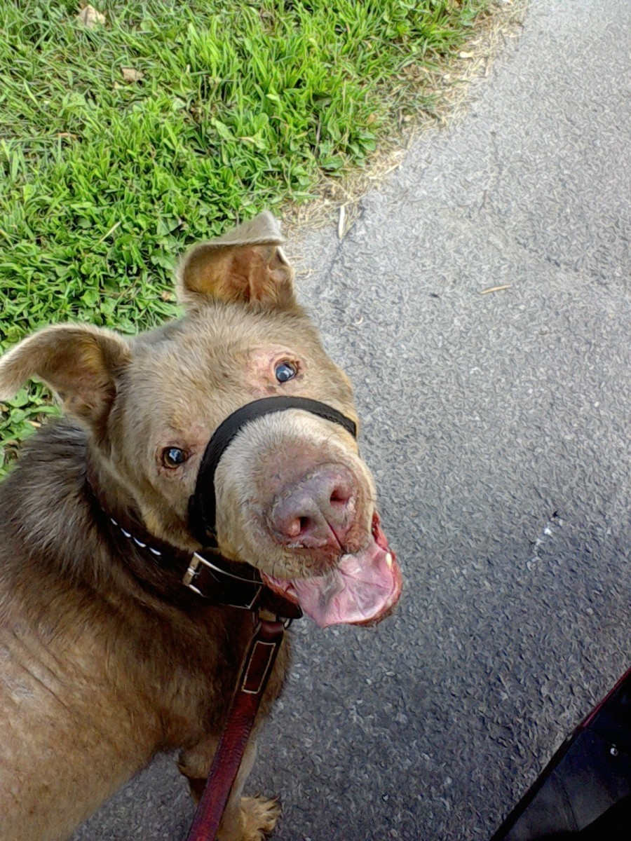 My dog, Ice, is always ready for a walk and with the proper safety face harness, can trot along beside the scooter. Proper nutrition habits, good quality food and plenty of exercise are key to a healthy, active pet.