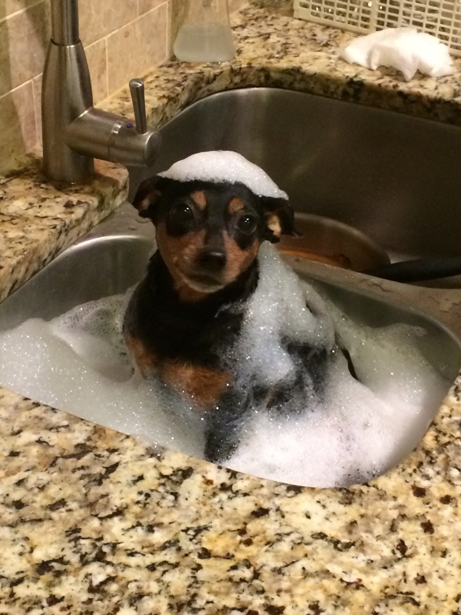 Minnie getting a bath in the sink