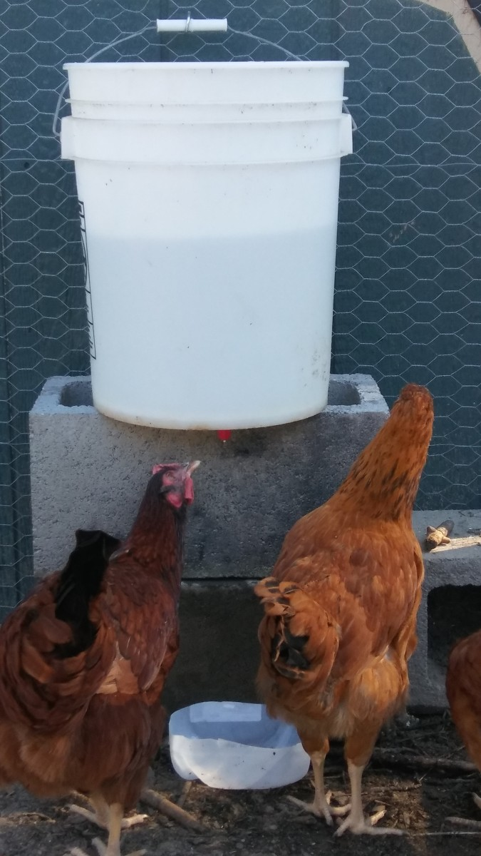 DIY Automatic Chicken Watering System for Under $10