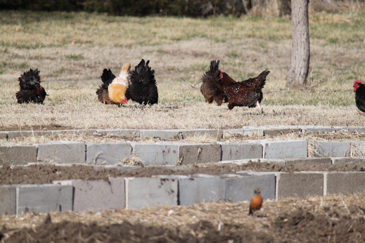 Hens who free range are far less likely to resort to eating their own eggs for amusement.