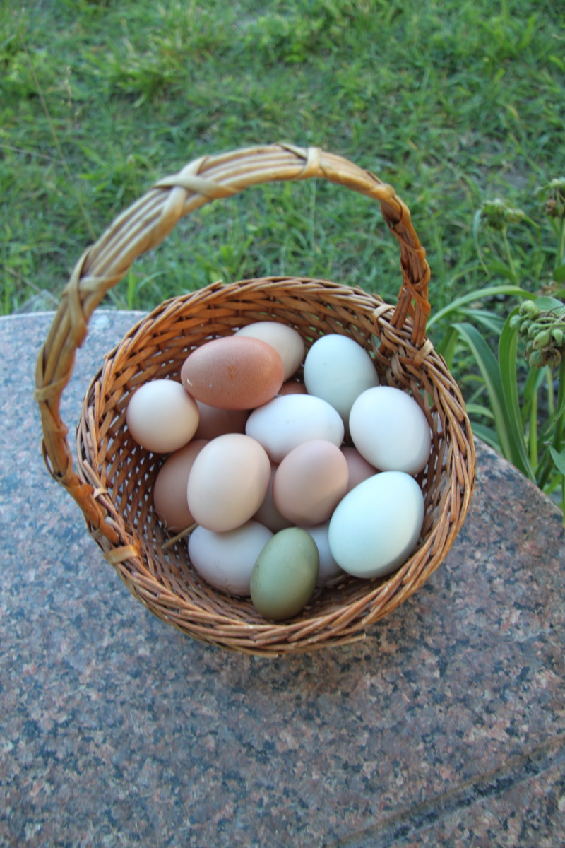 Make sure your eggs make it into your house and not into your chickens' bellies.