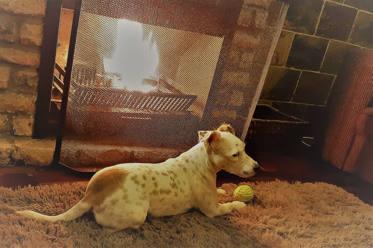 Dogs love the warmth of a fireplace, but to keep them safe use a fireguard