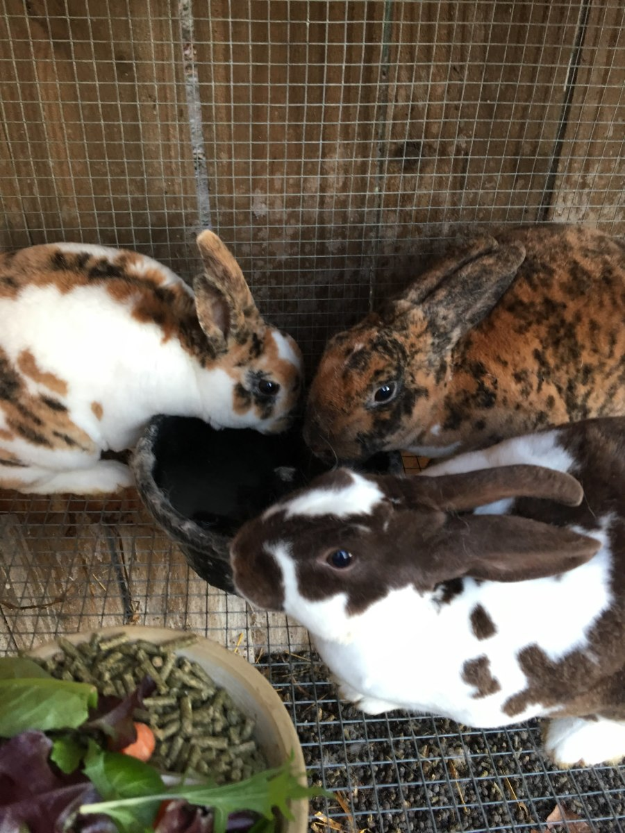 Mini Rex rabbits enjoying their morning water and a little extra special treat, salad greens on their pellets!