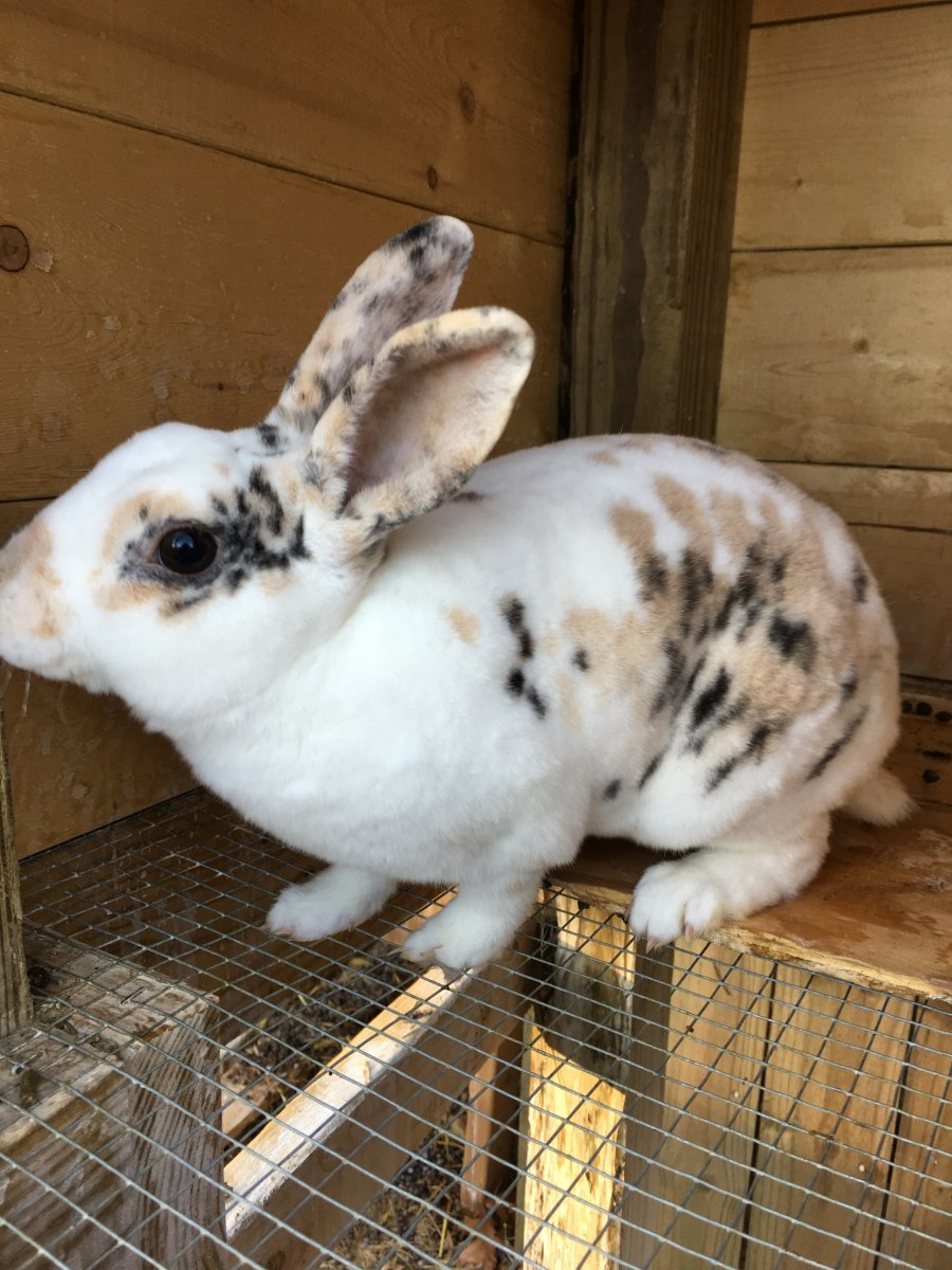 This is Traveller, my mini rex breeding buck. Note how compared to the lionhead rabbits his hair is dense and short. He feels like velvet!