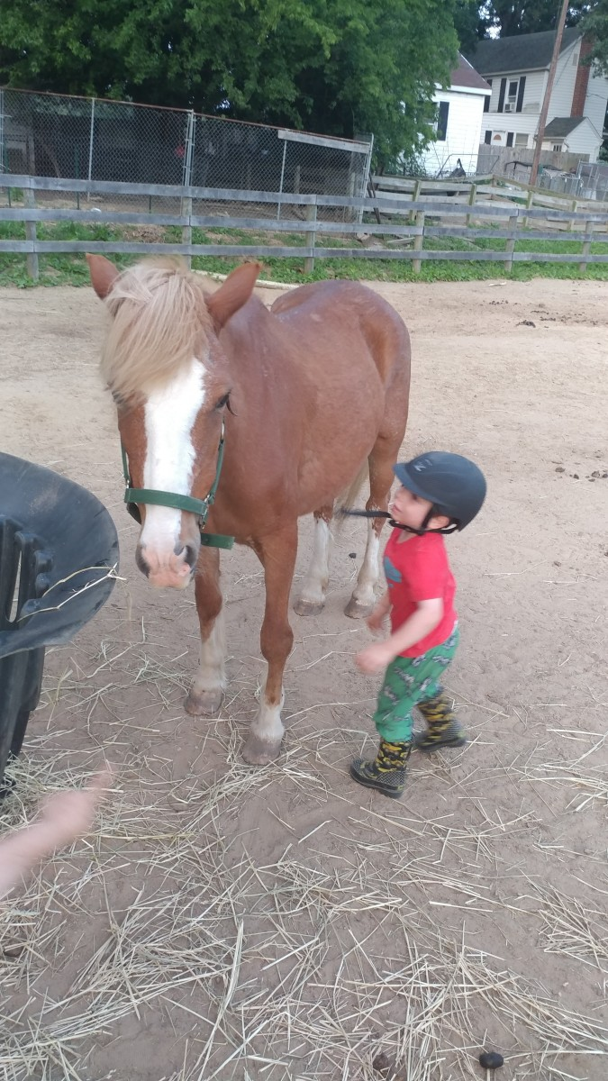 This cute pony Ginger, i a great size, probably just shy of 13 hands. She is one of the quietest pony ride ponies that I have encountered but couldn't physically hold up to the job.She has a home as a great backyard pony now..
