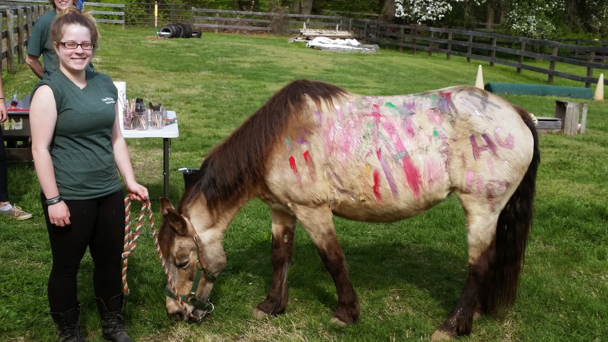 """This is Penny, she is a medium pony 13 something hands and a member of our """"A""""team, as well as her handler !"""