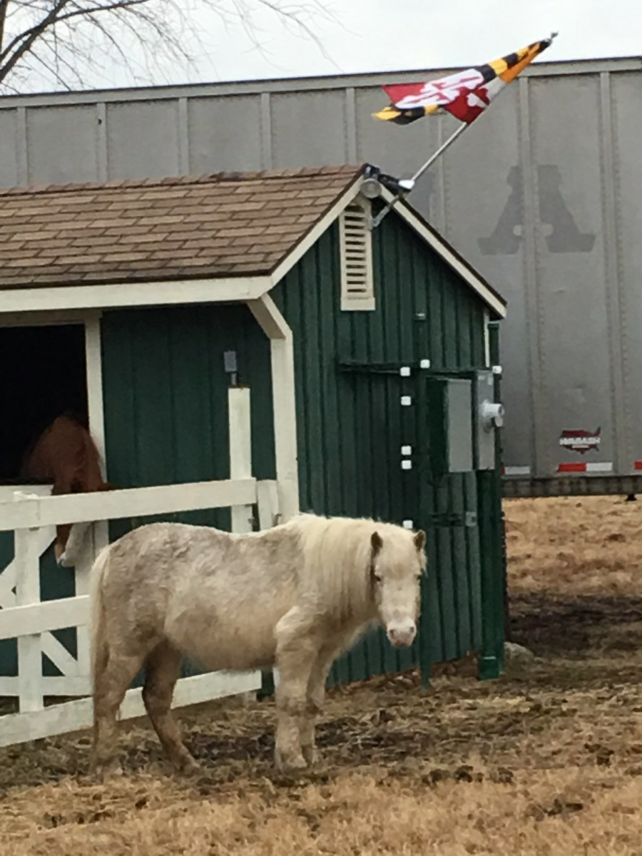 This is Fluffer; she is the very first pony ride pony we bought, one that probably was bound for not the greatest place if we hadn't gotten her. She is older than the hills and now living out her days in luxury!