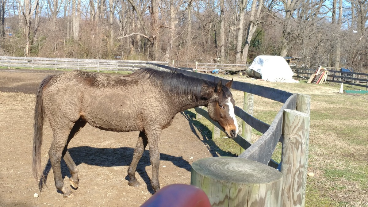 Finn was allowed to go back to his regular routine of living outside full time as soon as he got home from rehab. You can see he did what any other horse would do after being stuck in a clean stall all that time, he got filthy dirty!