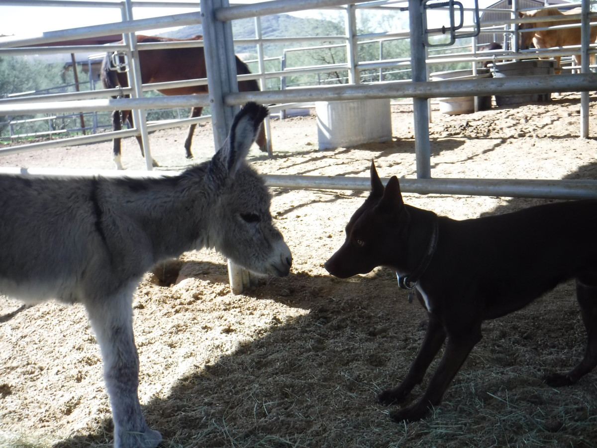 Not much bigger than her McNab dog pal Ethan when she was born, Onate is a standard donkey.