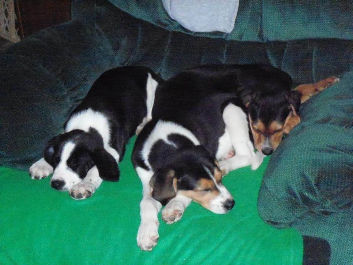 The two puppies on the left are my dog nephews , Eli and Caleb, the one on the right I called Texas because I put him on a plane to fly to his new home in Texas!