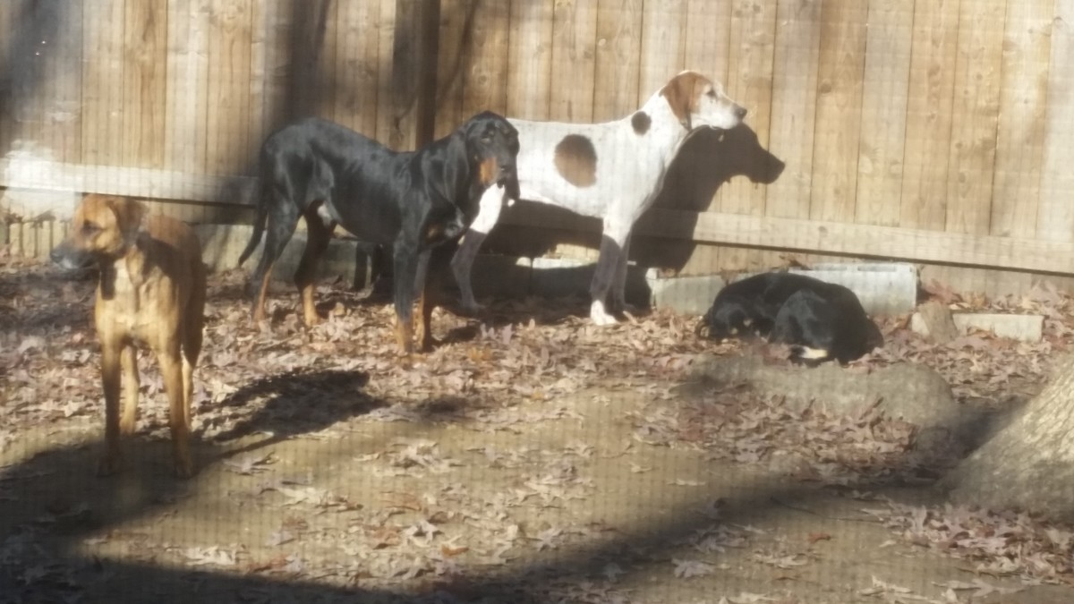 All rescued, Bridie , shepard mix on the left and the foxhound were left in a trailer when someone moved out. Moses the black an tan in the middle was a stray found in rural VA. The sleeping black and tan is Savannah.