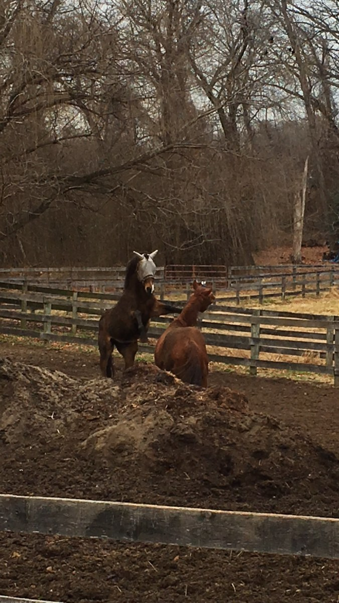 We want to introduce new horses with as little drama as possible. Luckily, the two in this picture are buddies and are just playing!