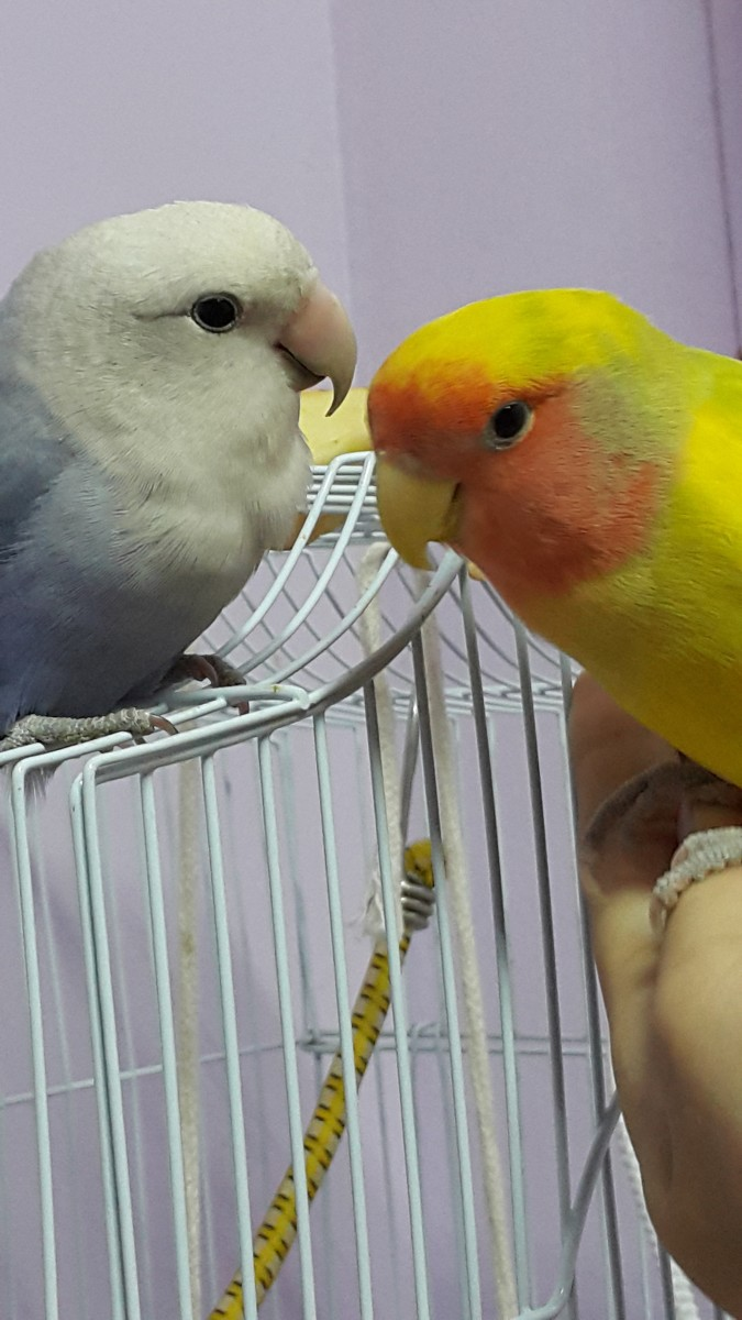 This is an old picture of my lovebird Mumu (on the right) with his first mate Lulu (on the left).