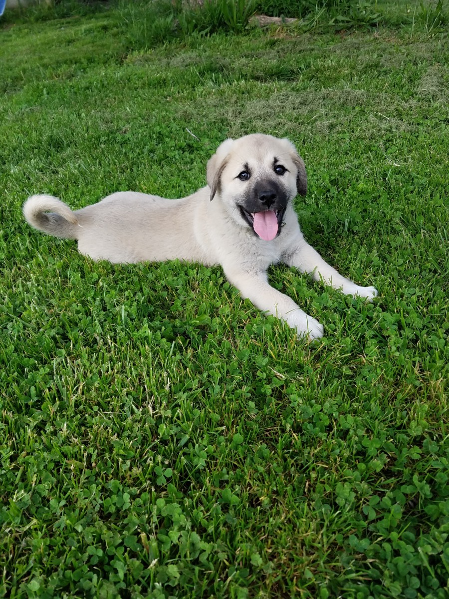 Anatolian Shepherd/Great Pyrenees Cross Make Great Livestock Guard Dogs