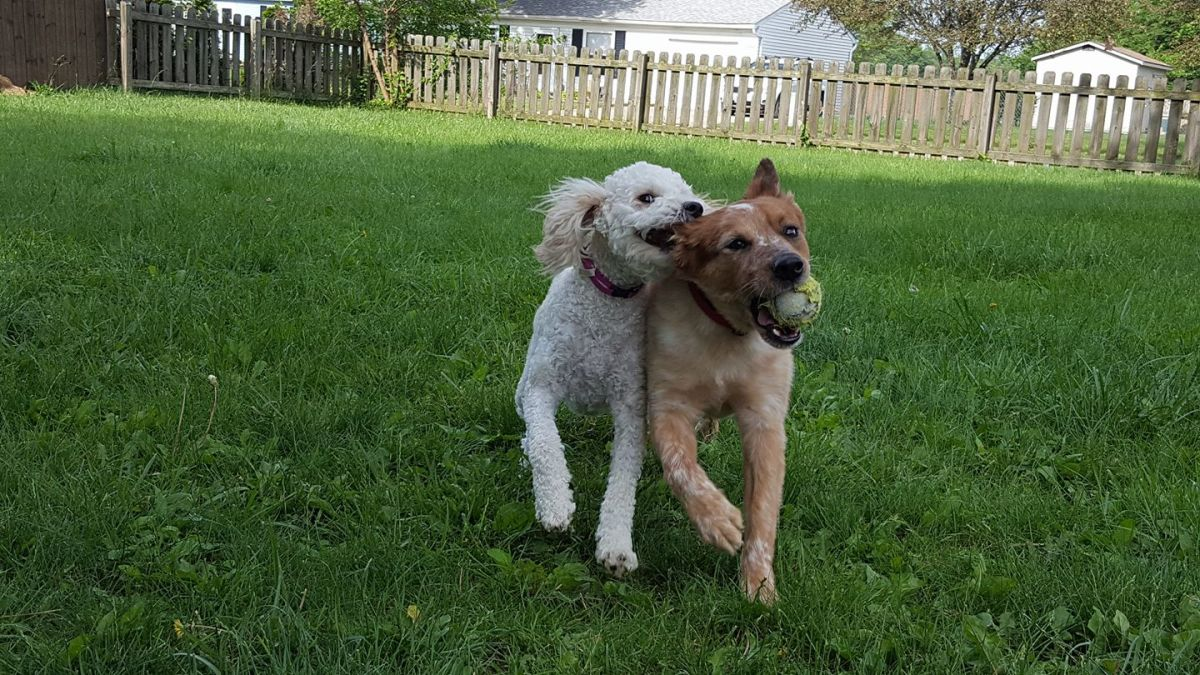 Ginger and Yusuke playing fetch a couple years ago.