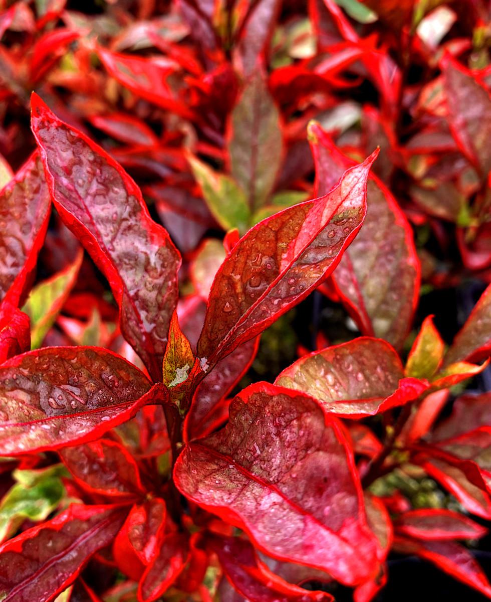 Joyweed 'Brazilian Red Hot'