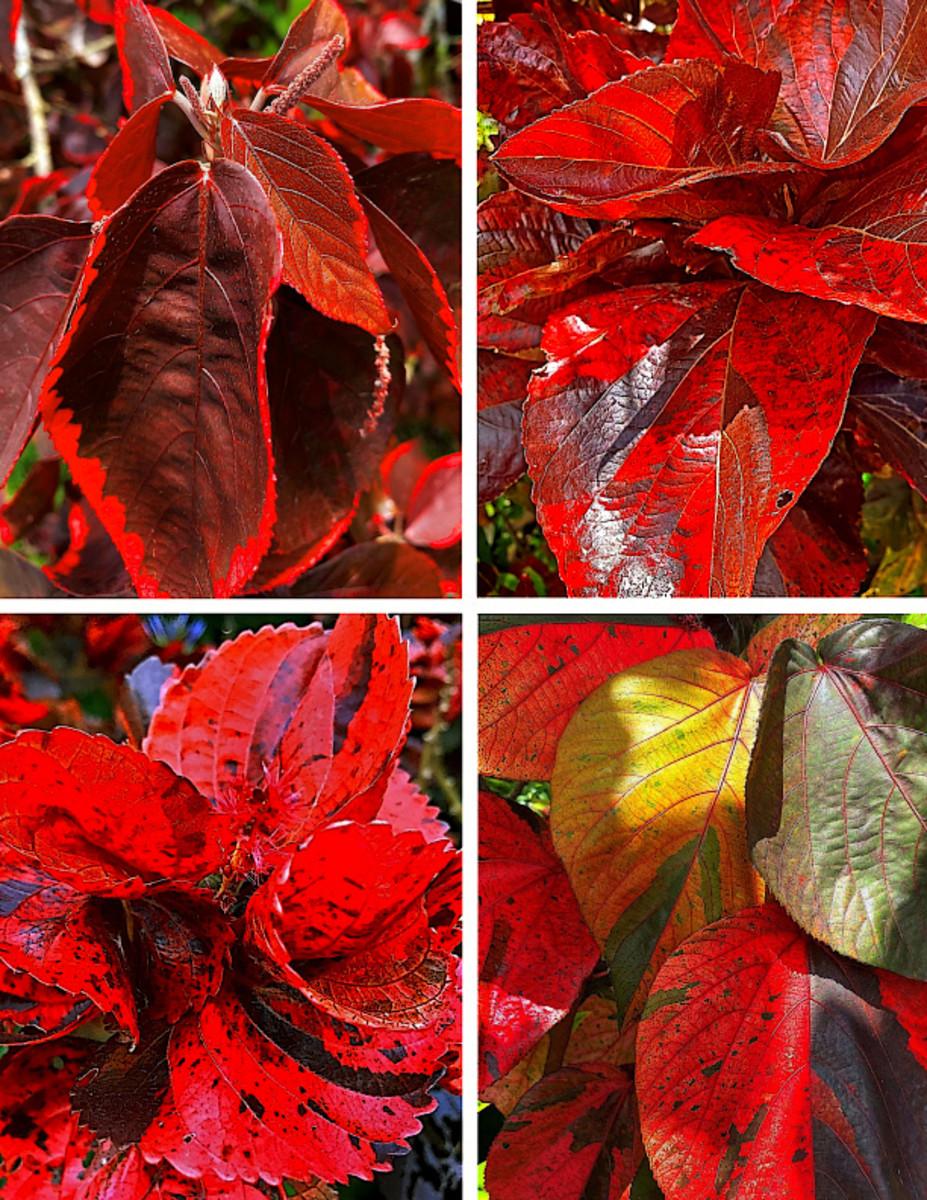 Copperleaf Plant varieties