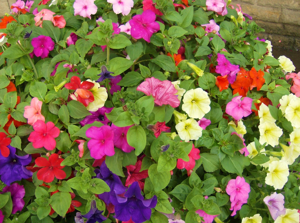You can make a great looking hanging basket with as few as two different plants. It will look good for weeks.
