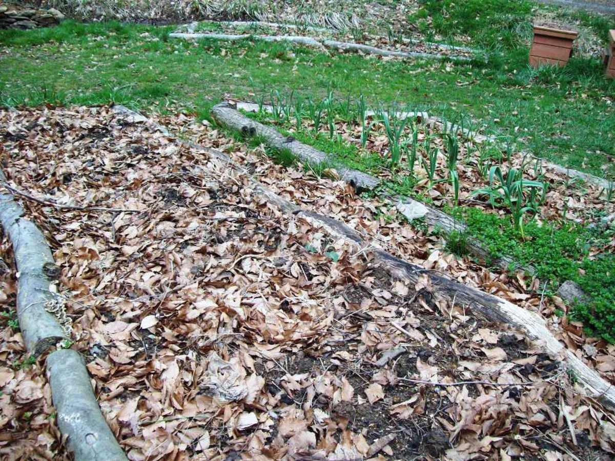 A photo of my garden composted and mulched with leaves to help it retain moisture.