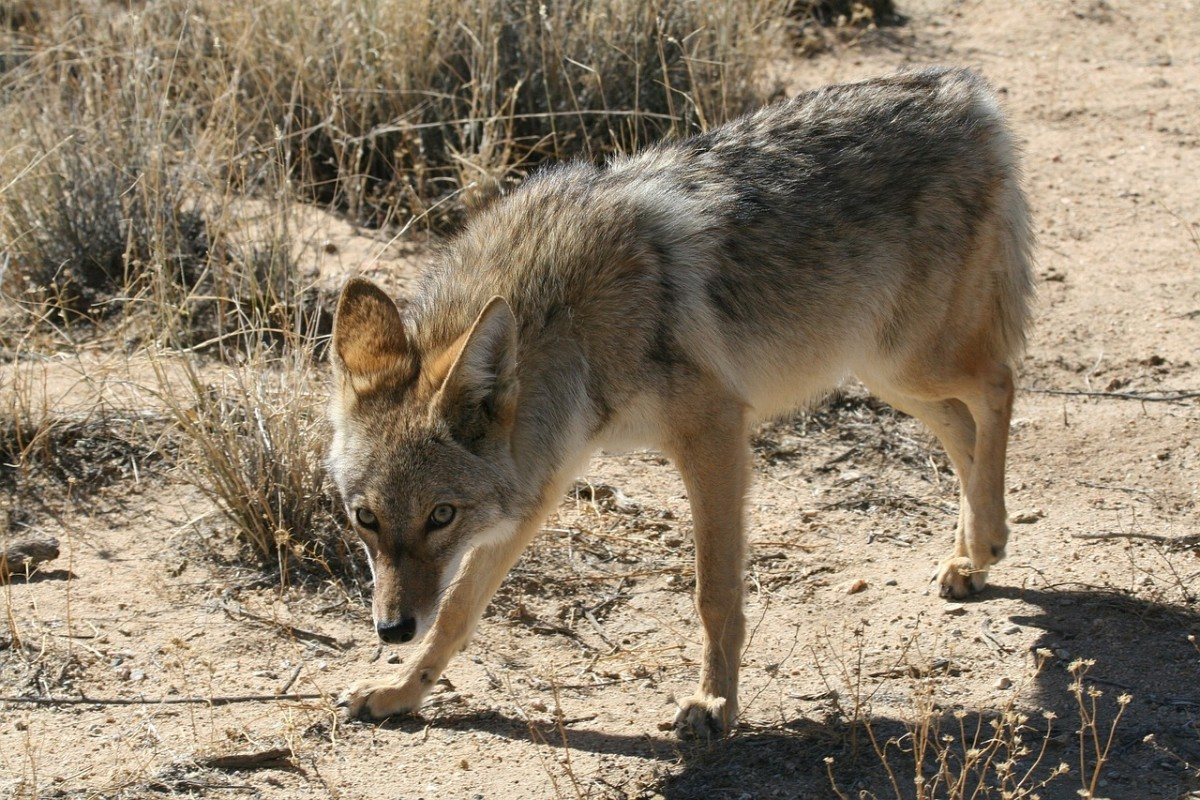 Coyotes are a common sight in many North American neighborhoods. When choosing your new neighborhood, find out how the community manages wildlife/human interactions.