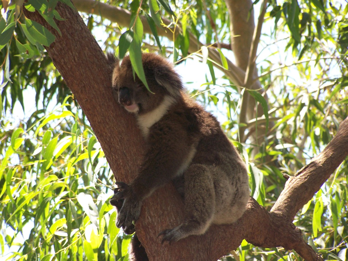 Koala's know how to make the most out of the laid back Australian lifestyle