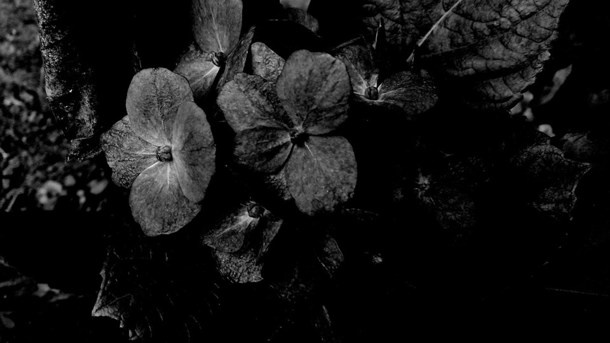 """""""Black flowers grow in my yard."""" flowers in yards of coal mining towns are often covered in soot and coal dust."""