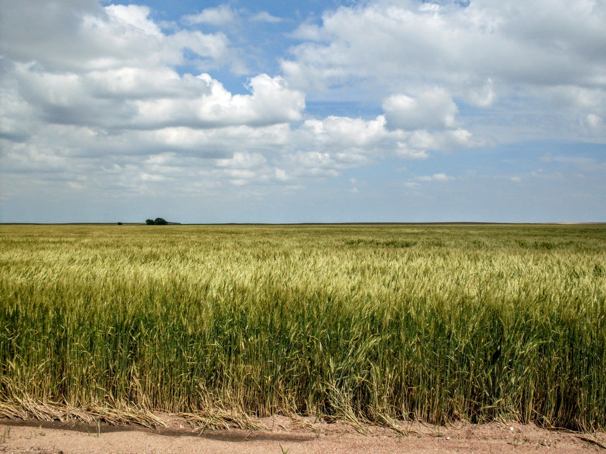 The green, sweet fields of wheat.