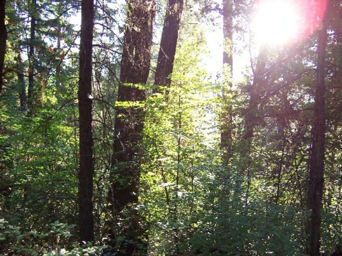 Trees in the Klamath National Forest.