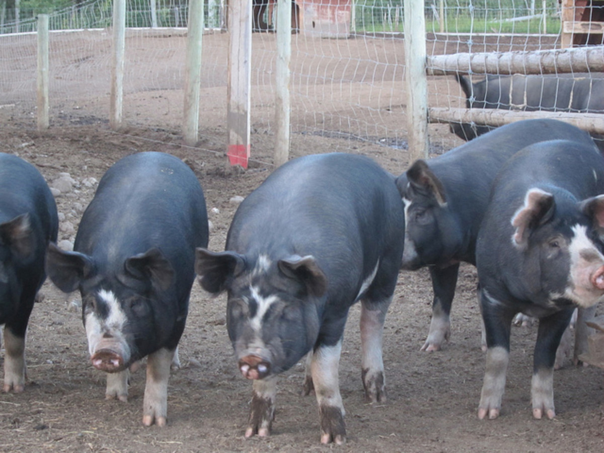 Swine Raising in the Philippines: A Viable & Popular Source