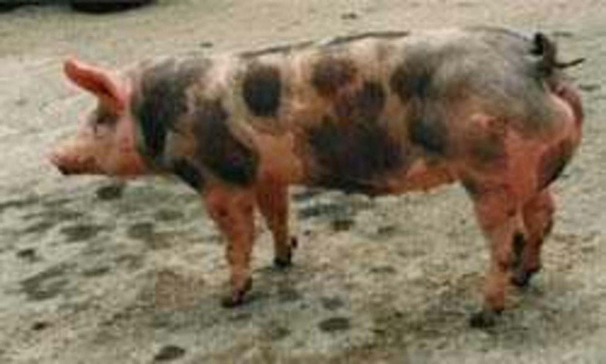 raising-swine-or-pigs