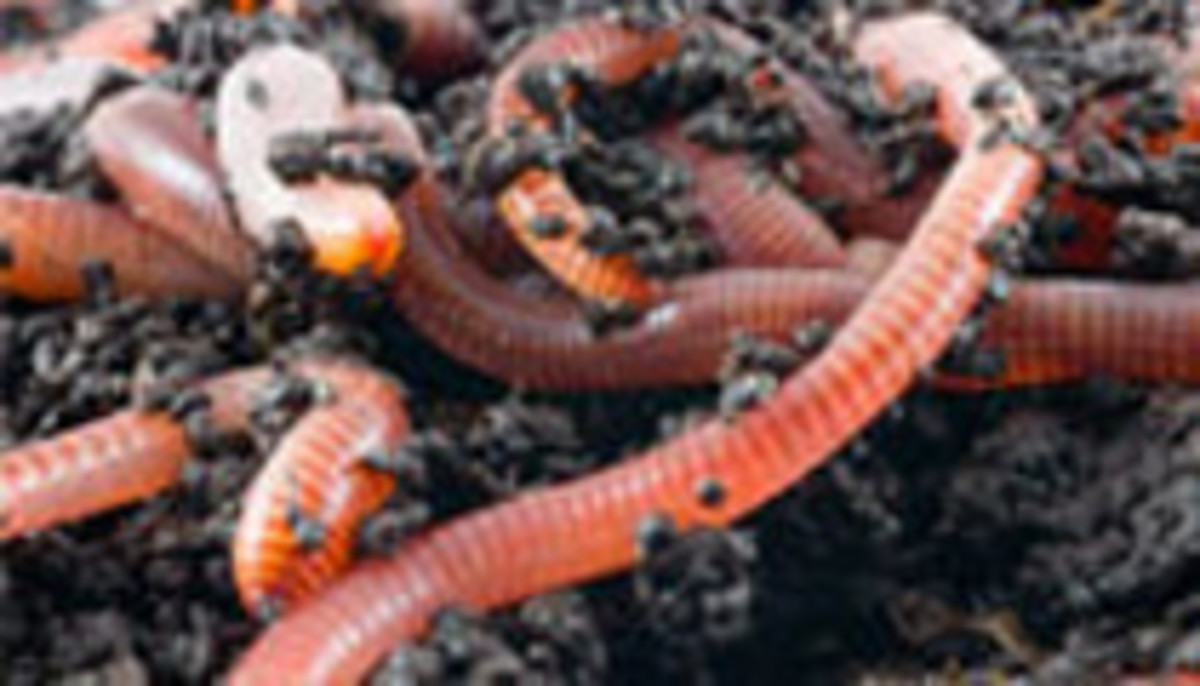 Big healthy redworms up close