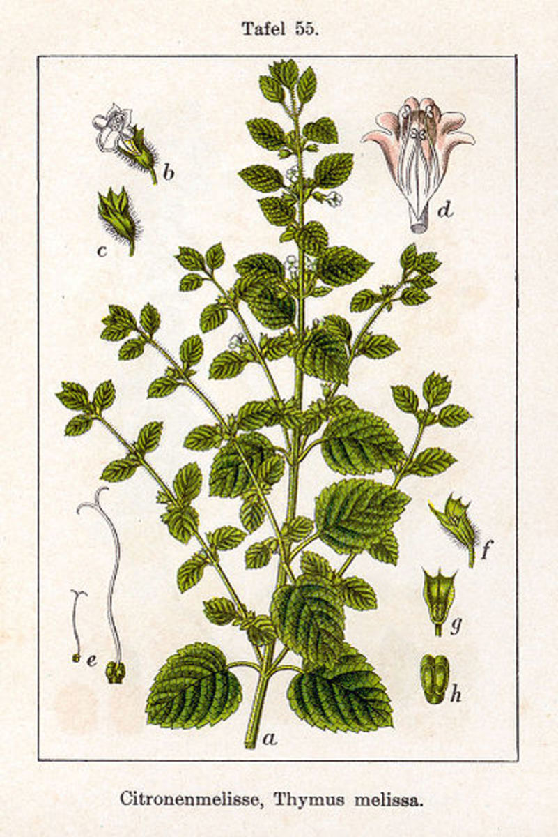 Lemon Balm, or Melissa officinalis