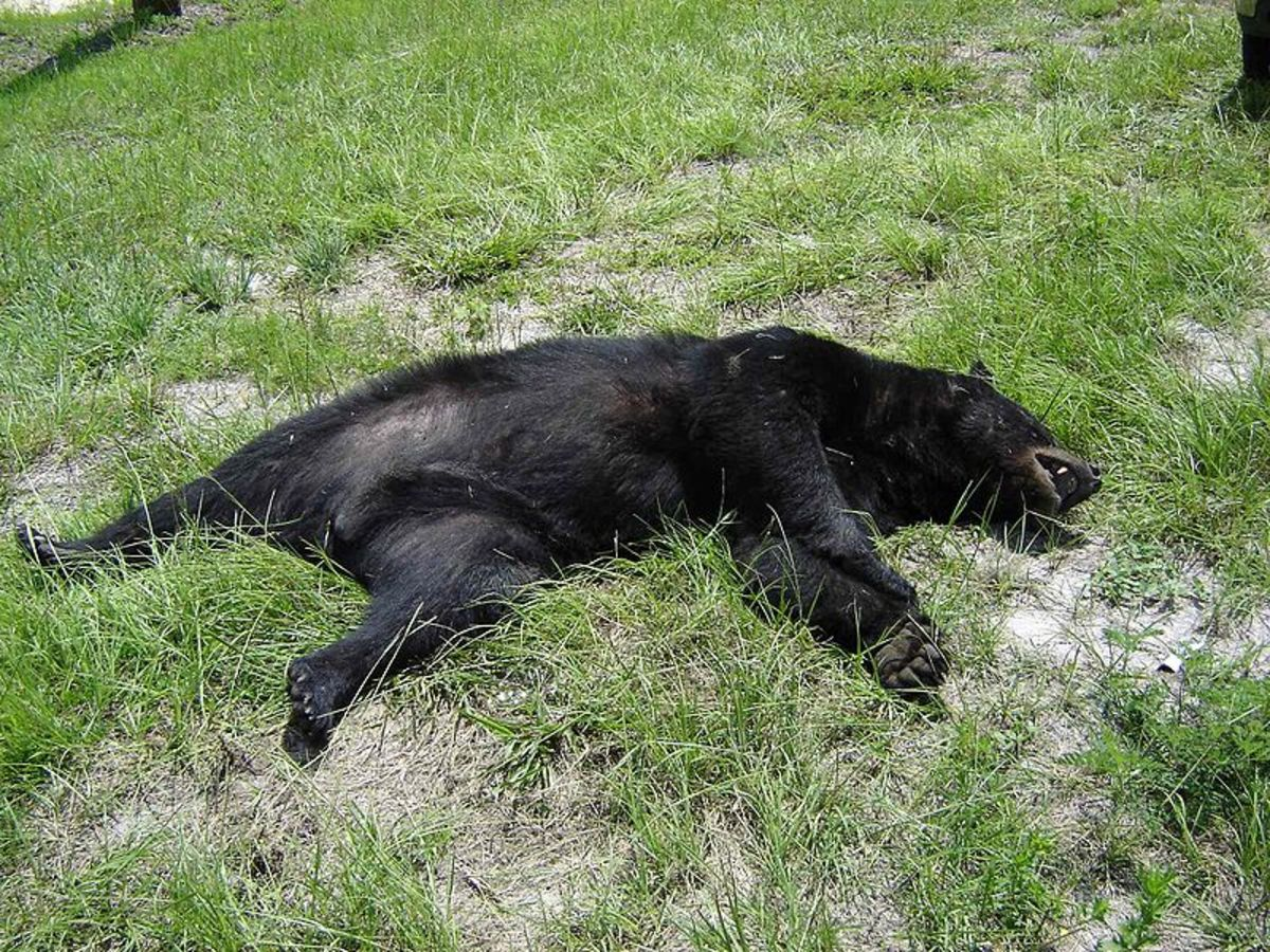 (A Dead Black Bear) This is what happens to those who look and act like they don't belong.