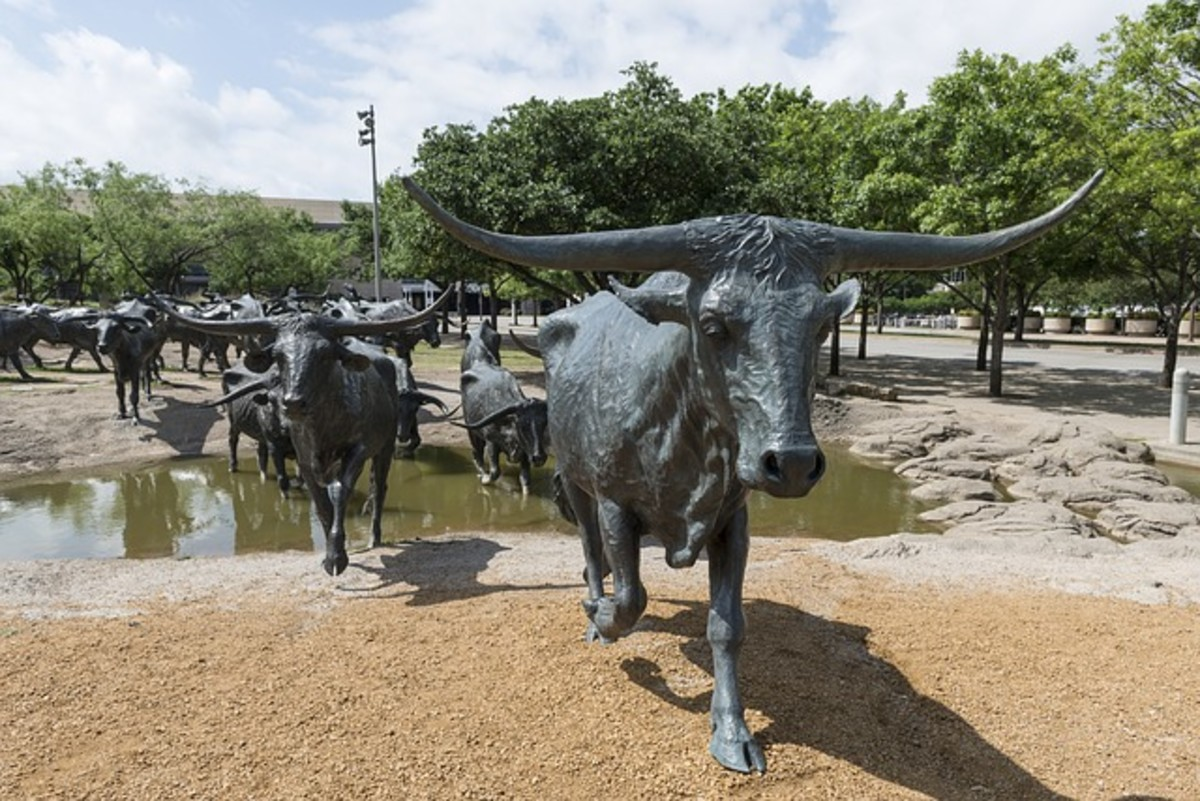 Iconic Texas longhorn cattle.