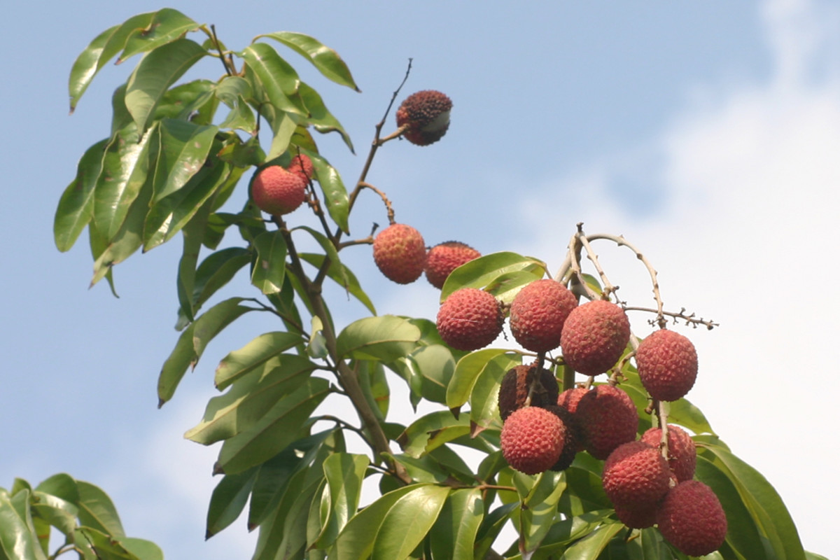 lychees in the treetops
